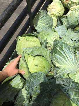 Cabbage for feed