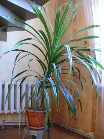 продам крупногабаритные комнатные растения
