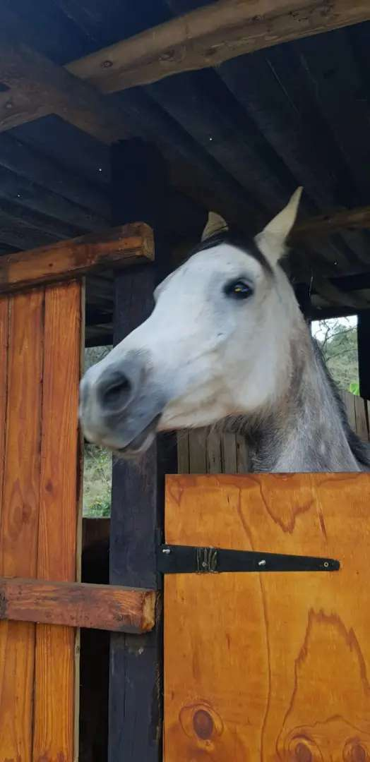 Asil Straight Egyptian Mare 0