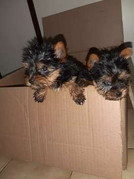 Yorkies Pocket Size for sale. 8 Weeks. Innoculated and dewormed.