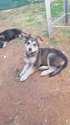 R2 000.00 German Shepherd