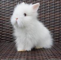 Piękny królik mini teddy karzełki miniaturki Poznań karzełek teddy
