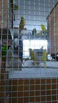 Papugi, papużki faliste
