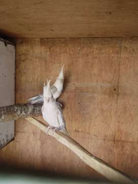 Breeding pair cockatiels for sale