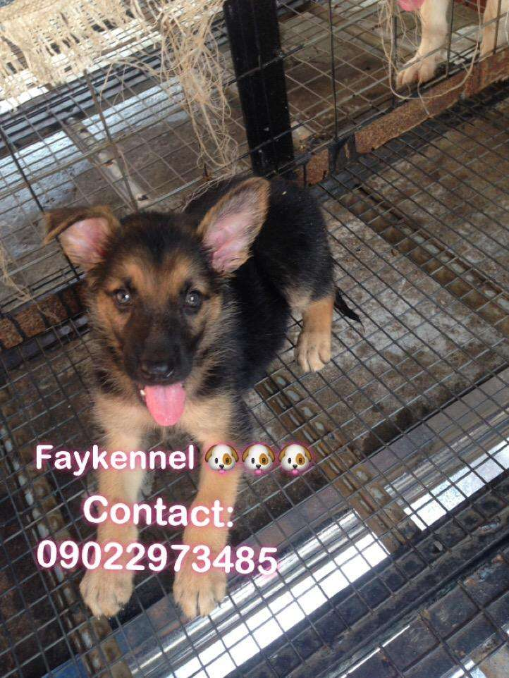 German shepherd pup available for sale 0