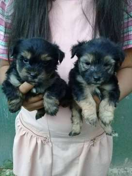 MINIATURE YORKIE PUPS 2 CUTE 2 MALES AVAILABLE,CUTE LOVABLE NATURES.