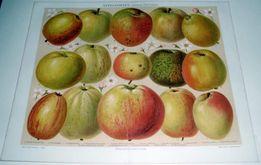 OWOCE- Jabłka oryginalne XIX w. chromolitografie DO WYSTROJU WNĘTRZA
