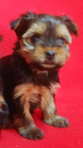 Registered Yorkie Boy