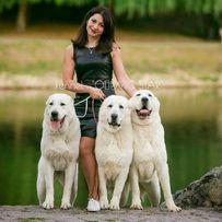 Белые, элитные щенки Среднеазиатской овчарки, сао, алабая