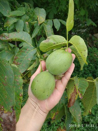 Саджанці грецького(волоського) горіха середньорослий .