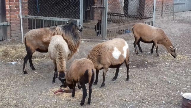 owce kameruńskie Aleksandria - image 1