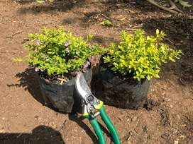 Cuphea 'Cocktail' shrubs at discounted price