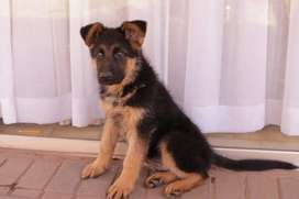 Pure German Sheperd For Sale.