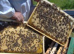 Пчелопакеты Карника на рамку Дадан