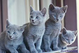 Koty, Kocięta Rosyjskie-Niebieskie z Rodowodami - GDYNIA