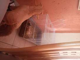 2 guinea pigs n brand new cage