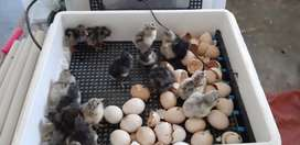 56 egg incubator for sale - Solar and Electricity
