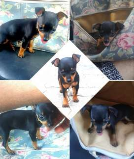 MINIATURE DOBERMAN PINSCHER BOKKIE TINY SMALL POCKET PUPPIES