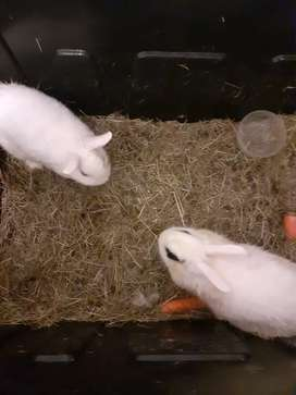 Male and female jersey wolly rabbits