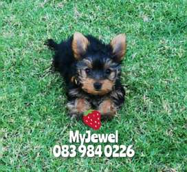 Purebred Yorkie puppies available