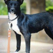 Потерялась черно-белая небольшая собака сука Макаров , Киевская обл