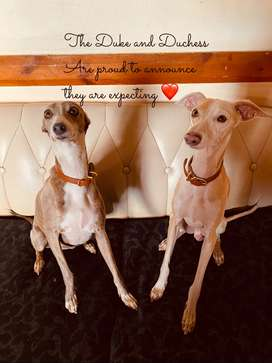 Italian greyhound puppies for sale ready in 8 weeks