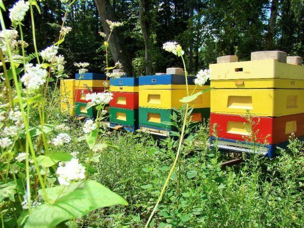 rodziny pszczele,odkłady,dadant,wielkopolskie,ule, Purda - image 2