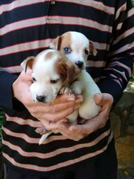 SHORT LEGGED JACK RUSSELL PUPS NOW AVAILABLE,.2 CUTE MALES AVAILABLE