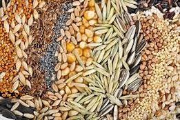Семена элитные Канада,Украина:гречки,пшеницы,ячменя,овса.Оплата любая.
