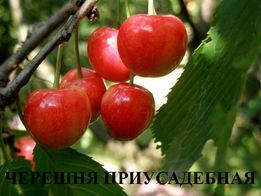 Саженцы,черешни,вишни, яблони,груши,айвы,шелковицы,зизифуса,боярышника