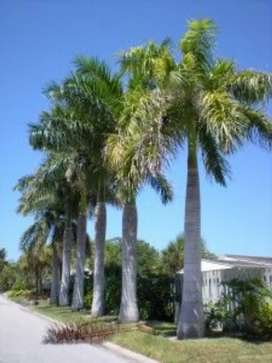 Two 13ft bottle neck palm trees