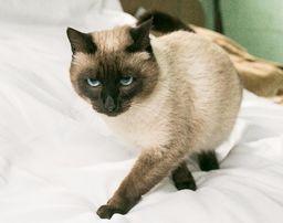 Сиамский Кот для вязки случки, 1,5 года в самом расцвете ждет невесту!