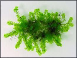 Jade Lotos - Jungermannia Truncata