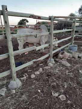 Brahman Bull for Sale