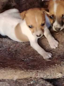 Female miniature Jack russel puppy for sale