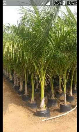 BAMBOO PALM TREES AVAILABLE