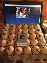 Инкубационные яйца мясо-яичных кур Фокси Чик