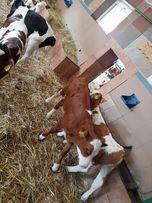 Byczki mięsne i mieszance