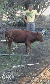 Image of Miniature sized Cow