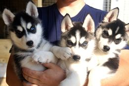 Черно-белые щенки Хаски