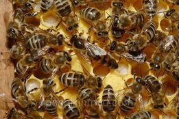 Продаю пчелосемьи