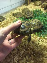Сухопутные травоядные черепахи