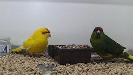 Птенцы какарики