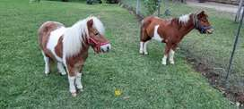 Tow miniature ponys for sale R4000 each in malelane
