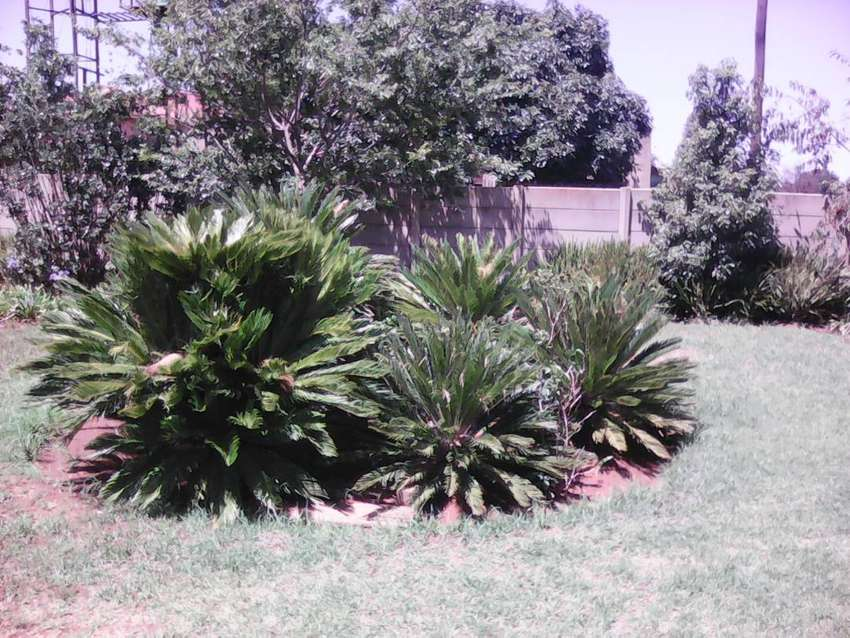 8 Reveluta  Cycas for sale R500 - R 3000. Male and female plants 0