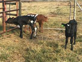 Baby Calves - DICHROA Stockest