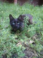 отдам черного котенка, мальчик, 7 месяцев