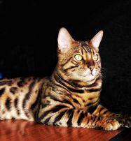 Кот бенгал приглашает Кошку бенгалку для интимных встречь :)