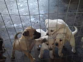 Mixed breed puppies for sale , 8weeks old