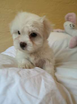 Mini Maltese puppies for sale